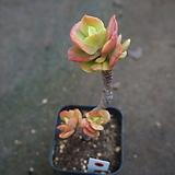 (2月)홍매화93 Echeveria Multicalulis  Ginmei Tennyo