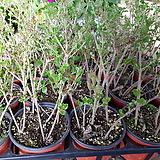 미스김라일락(소) Echeveria cv Peale von Nurnberg