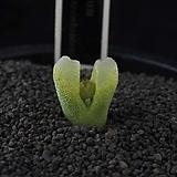 XP3354-C.devium ssp.stiriiferum  데이빔 스트리페럼|