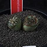 XP3361-C.ursprungianum 대흑점(大黑点) 2두|