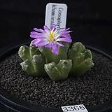 XP3366-Conophytum khamiesbergensis 카미에스버젠시스10두|