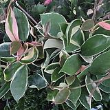 호야(소) Hoya carnosa