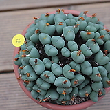 코노피튬 대품 Conophytum