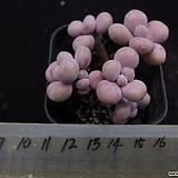 아메치스(목대적심)2|Graptopetalum amethystinum
