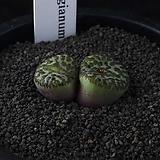 XP3380-C.ursprungianum 대흑점(大黑点)2두|