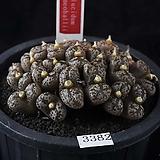 XP3382-C.pellucidum ssp. pellucidum var. neohallii  네오할리26두|