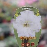 아마릴리스(흰색꽃) 
