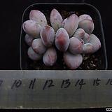 후레뉴(적심)1|Pachyphtum cv Frevel