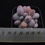 후레뉴(적심)11|Pachyphtum cv Frevel
