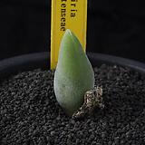 XP3413-Muiria hortenseae 뮤리아 호르텐시아|