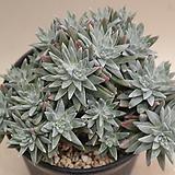 화이트그리니 30두이상|Dudleya White gnoma(White greenii / White sprite)