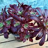 Aeonium arboreum var. atropurpureum
