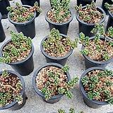 옥연 중품.랜덤|Sedum furfuraceum