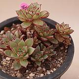 묵은아즈타트렌시스|Echeveria longissima var aztatlensis
