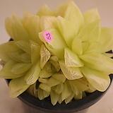 옥루금(경화금)|Haworthia cymbiformis f. variegata