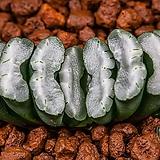 담설(淡雪)-01-14-No.3510|Graptopetalum Paraguayensis Awayuki