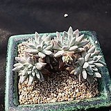 화이트그리니(묵은둥이)8두|Dudleya White gnoma(White greenii / White sprite)