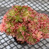 소인제 금_r88 Aeonium  sedifolius
