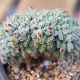 금사황 철화 03-448|Echeveria setosa Hybrid