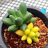 천대전송 금_b22 Pachyphytum compactum