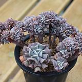 큐빅프로스티 철화 03-515|Echeveria pulvinata Frosty
