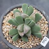 1922. 체리톱스|Cheiridopsis Pillansii