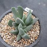 1925. 체리톱스|Cheiridopsis Pillansii