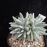 화이트그리니389 Dudleya White gnoma(White greenii / White sprite)
