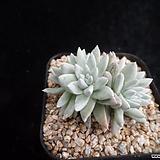 화이트그리니383 Dudleya White gnoma(White greenii / White sprite)