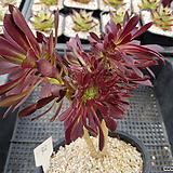 흑법사철화92|Aeonium arboreum var. atropurpureum