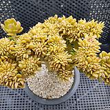 커스피닷컴철화대품|Sedum cuspidatum cristata