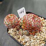 글로블로사144|Echeveria globulosa