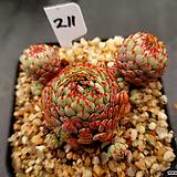 글로블로사211|Echeveria globulosa