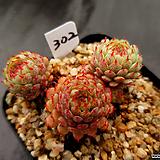 글로블로사302|Echeveria globulosa