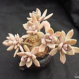 석연화(묵은둥이)|Pachyveria Pachyphytodies