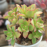 묵은까라솔 Aeonium decorum f variegata