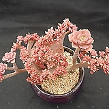홍일산철화(분채배송)묵은둥이|Echeveria bicolor