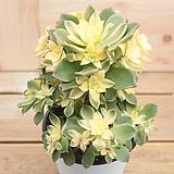 까라솔(중) Aeonium decorum f variegata