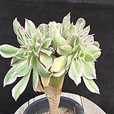 썬버스트철화 Aeonium Sunburst