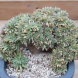 묵은 마리아철화(특대품) Echeveria agavoides Maria