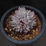 핑크자라고사 1|Echeveria mexensis Zaragosa