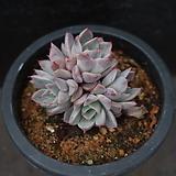 핑크자라고사 5|Echeveria mexensis Zaragosa