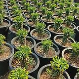 괴마옥(랜덤) Euphorbia hypogaea