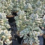 방울복랑 중품(랜덤) Cotyledon orbiculata cv