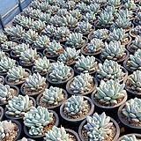 후레뉴 Pachyphtum cv Frevel