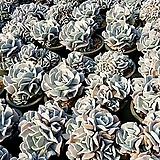 큐빅프로스티 Echeveria pulvinata Frosty