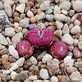 conophytum minusculum ARM424 