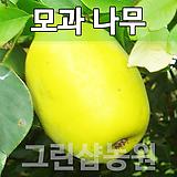 모과묘목 모과나무 유실수 모과 접목1년 10주|