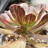 달마법사 37|Eonium arboreum var. rubrolineatum
