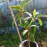 비파나무7년생|